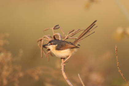 Ashy Prinia at Serene Farms