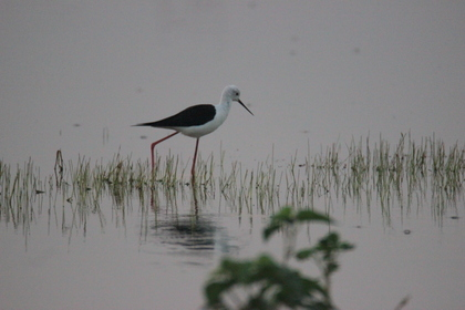 Black-Winged Stilt around Serene Farms