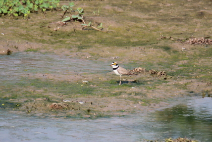 Little Ringed Plover around Serene Farms