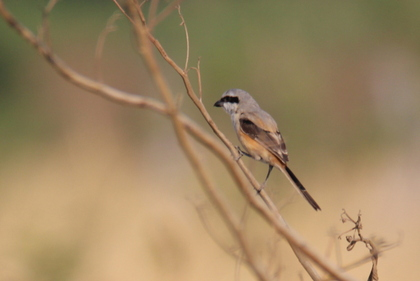 Long-Tailed Shrike at Serene Farms