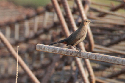 Rufous Tailed Lark at Serene Farms