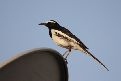 White Browed Wagtail at Serene Farms