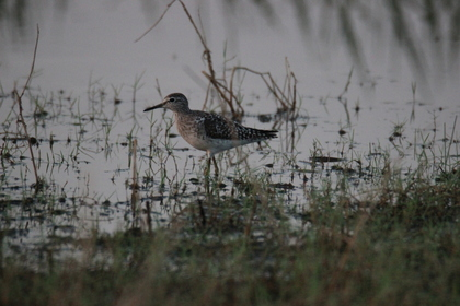 Wood Sandpiper around Serene Farms